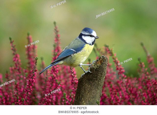 blue tit (Parus caeruleus, Cyanistes caeruleus), on a post on autumn, Germany, North Rhine-Westphalia