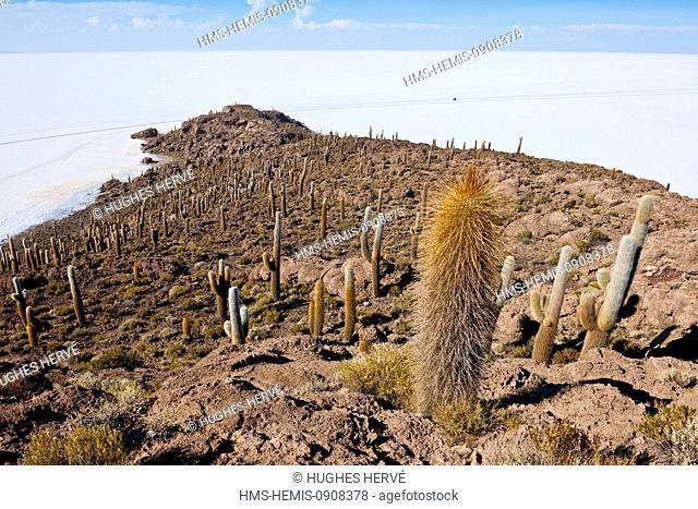 Bolivia, Potosi Deparment, Salar de Uyuni, Isla Incahuasi (Isla Pescado), Trichoreceus Cactus