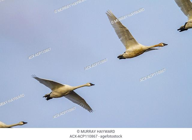 Tundra Swan (Cygnus columbianus) In flight across Alberta fields. Beautiful and gracefull bird High River, Alberta, Canada