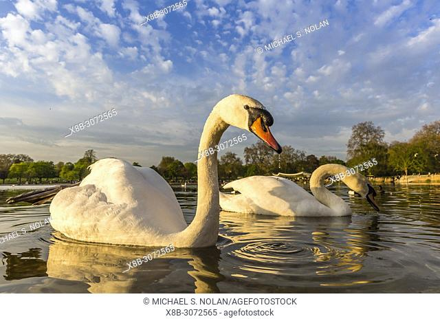 A pair of swans at lake edge in Hyde Park, London, England