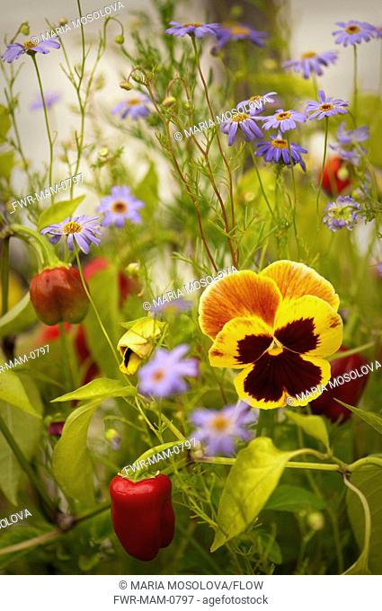 Viola x wittrockiana cultivar, Pansy, Mixed colours subject