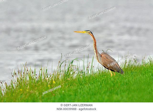 Purple Heron (Ardea purpurea) hunting along the water's edge, The Netherlands, Overijssel, Mastenbroek