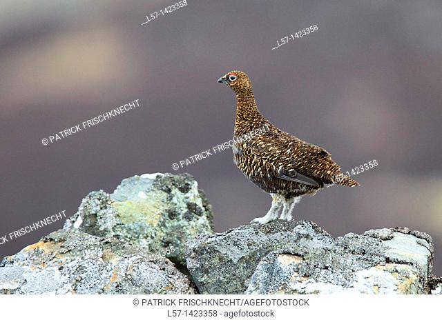 Red Grouse, Schottisches Moorschneehuhn, Lagopus lagopus scoticus, Scotland