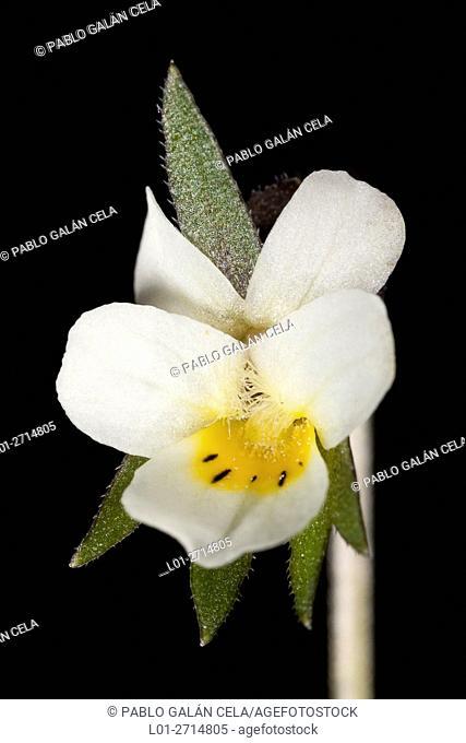 Field Pansy (Viola arvensis)