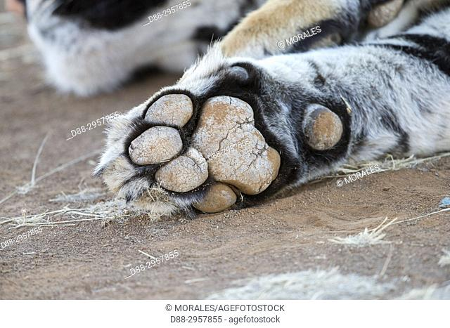 South Africa, Private reserve, Asian (Bengal) Tiger (Panthera tigris tigris), White tiger, resting, close up of the leg
