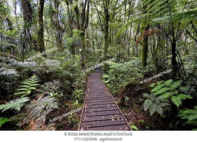 Boardwallk amoung the Kauri trees in Trounson Kauri Park to avoid people damaging the tree roots, Northland, New Zealand