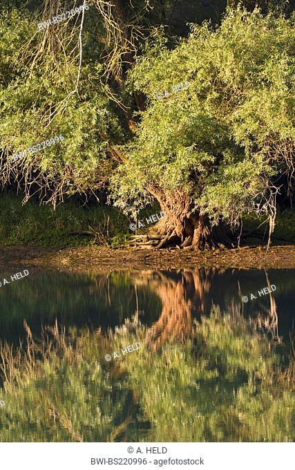 white willow (Salix alba), on shore of the Rhine with mirror image, Germany, Rhineland-Palatinate, Altrhein, Germersheim