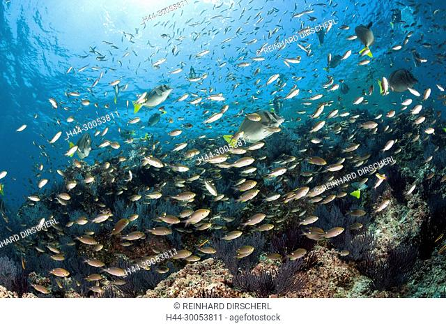 Scissortail Chromis over Coral Reef, Chromis atrilobata, La Paz, Baja California Sur, Mexico