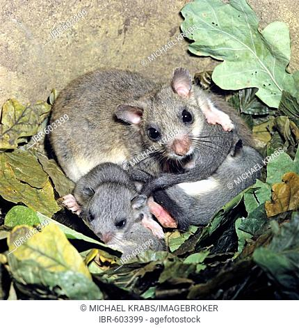 Edible Dormouse (Glis glis) female and young in nest, Germany, Europe