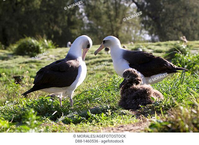 Laysan Albatross (Phoebastria immutabilis), adult with young, Sand Island, Midway Atoll National Wildlife Refuge, Hawaii, USA