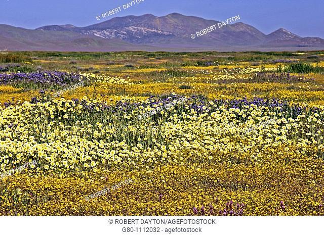 Wildflowers, Carrizo Plain, Southern California
