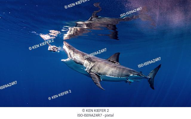 Great white shark biting fishing bait
