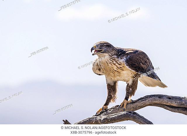 Trained captive ferruginous hawk, Buteo regalis, Arizona Sonora Desert Museum, Tucson, Arizona, USA