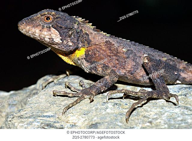 Arbor hill agama, Trapelus agilis. A very rare agamid rediscovered after 125 yrs in 2006 in North East, India, Arunachal Pradesh