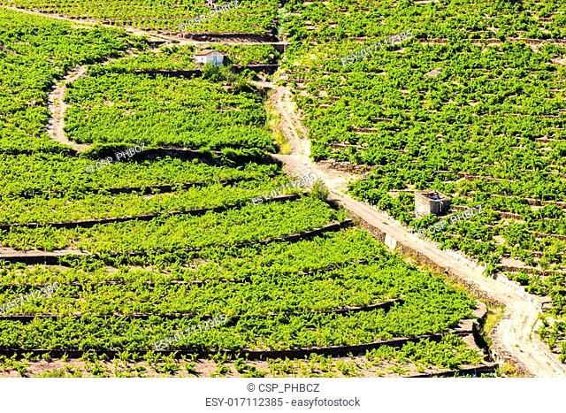 vineyard on Cote Vermeille near Port-Vendres, Languedoc-Roussill