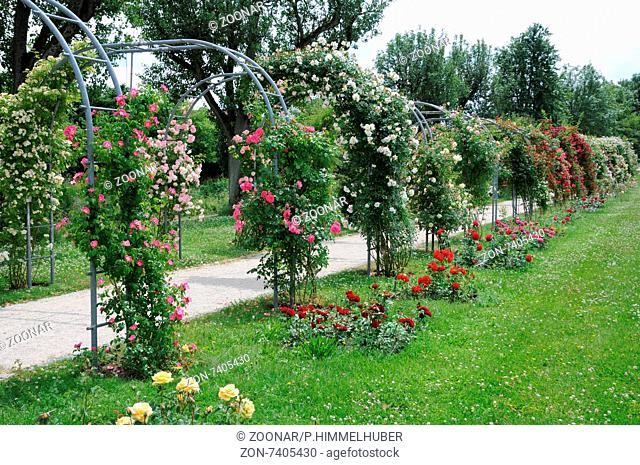 Climber roses