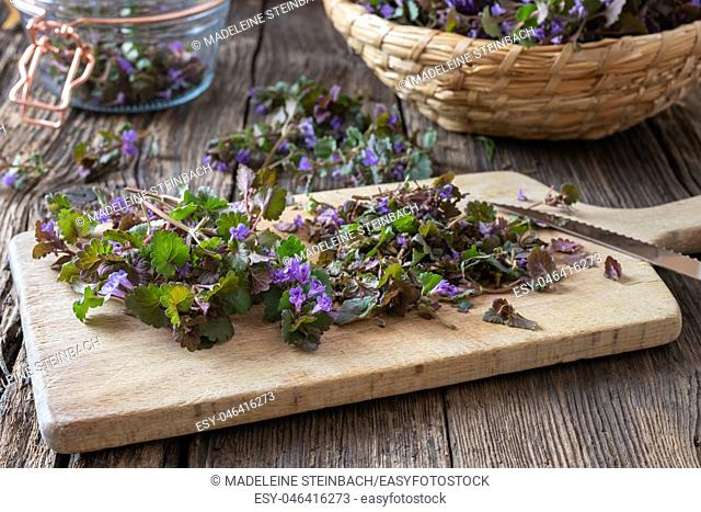 Cutting fresh ground-ivy twigs to prepare homemade herbal syrup against cough