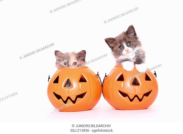 Norwegian Forest Cat. Two kittens (6 weeks old) in Jack-O-Lanterns. Studio picture against a white background. Germany