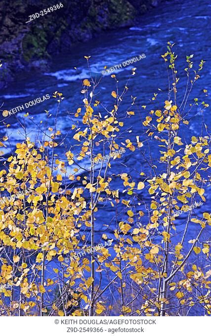 Fall colours of yellow Aspen leaves above the Bulkley river, near Hzelton, British Columbia