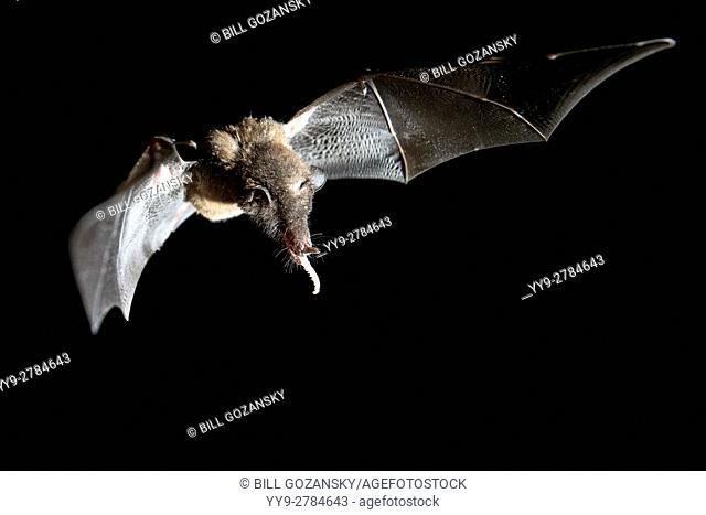 Nectar-Feeding Bats - La Laguna del Lagarto Lodge - Boca Tapada, San Carlos, Costa Rica