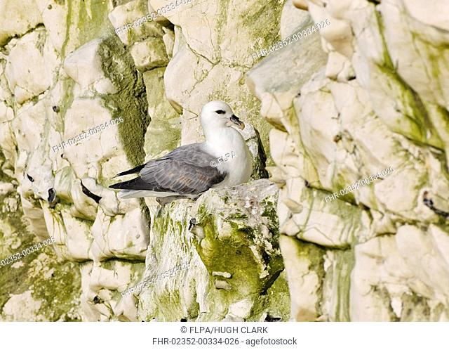 Northern Fulmar (Fulmarus glacialis) adult, resting on ledge of chalk cliff, Sussex, England, April