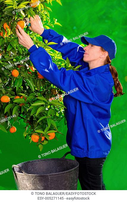 Tangerine orange farmer collecting woman in mediterranean Spain