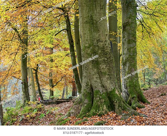 Beech trees in autumn in Strid Wood at Bolton Abbey Yorkshire Dales England