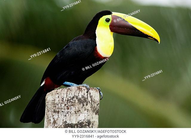 Yellow-throated Toucan - La Laguna del Lagarto Lodge - Boca Tapada, San Carlos, Costa Rica