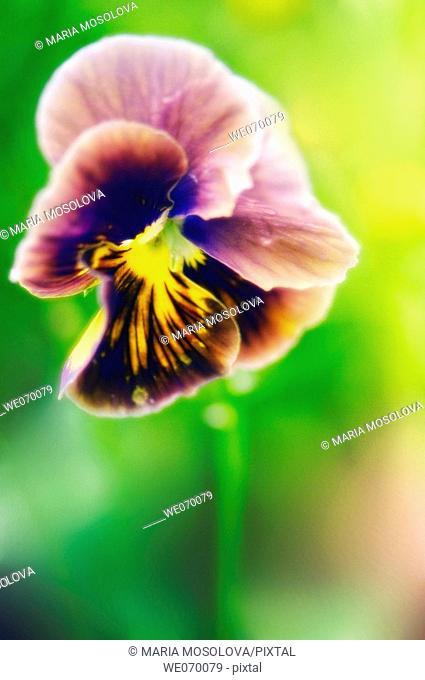 Pansy Flower. Viola x wittrockiana. June 2006, Maryland, USA