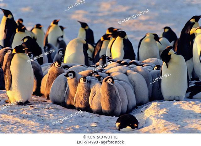 Emperor Penguin with chicks, kindergarden, Aptenodytes forsteri, Antarctica