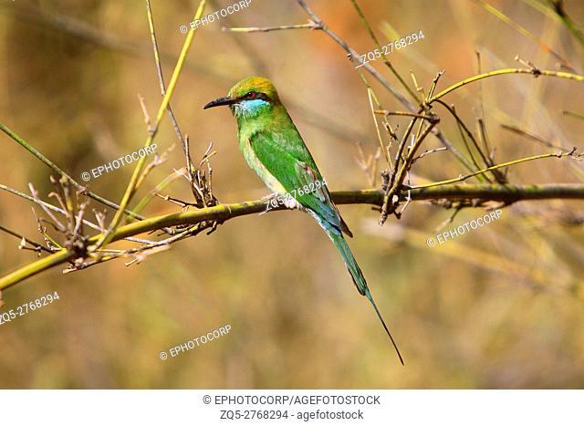 Green Bee-eater (Merops Orientalis) at Bandhavgarh National Park Madhya Pradesh India