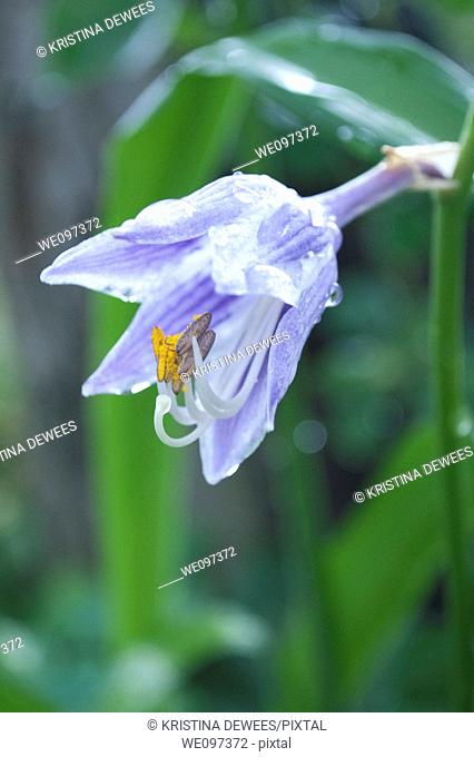 A bell shaped purple and white striped hosta flower