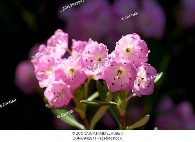 Kalmia polifolia, Poleiblättrige Kalmie, Bog-Kalmia