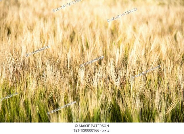 View of barley in field