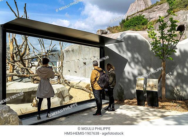 France, Paris, Paris Zoological Park (Zoo de Vincennes), the Sahel-Sudan biozone, enclosure Guinea baboons (Papio papio)