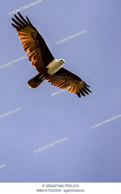 White-tailed Eagle hunting on the beach, Indonesia