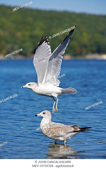 Ring-billed Gull - Adult taking off from lake - Juvenile in the background (Larus delawarensis)