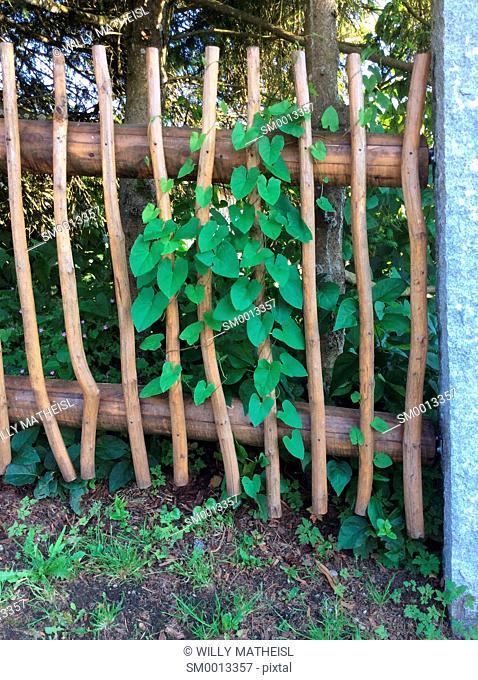 nasturtium climbing on wooden garden fence, Bavaria, Germany, Europe