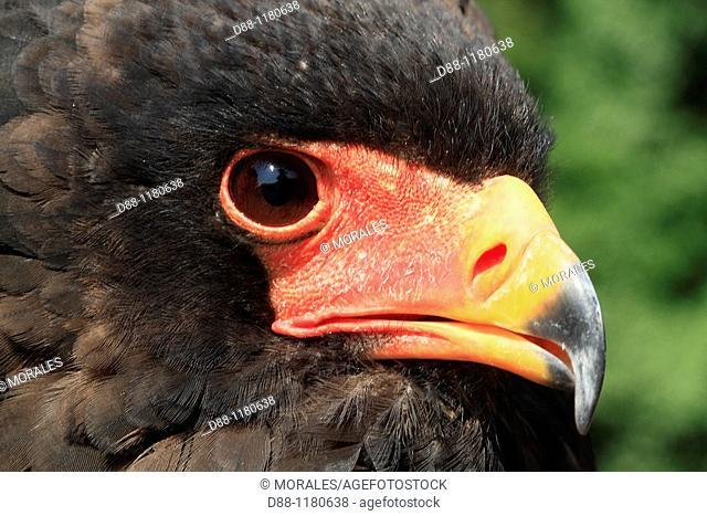 Bateleur Terathopius ecaudatus Order : falconiformes family : accipitrides