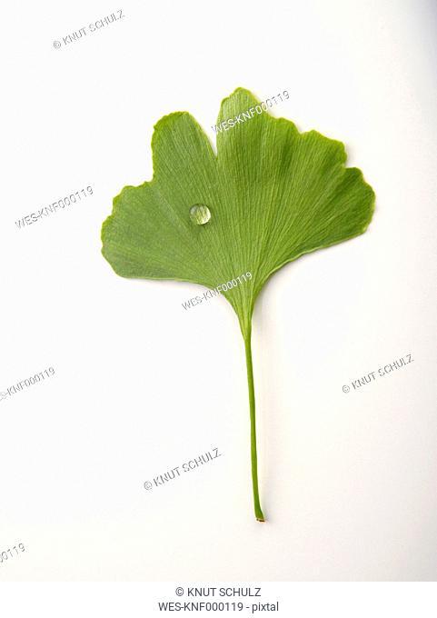 Ginkgo leaf against white background, close up