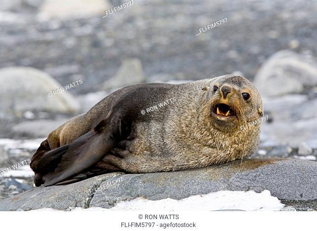 A Juvenile Fur Seal warns off Intruders on Half Moon Island in the Antarctic Archipelago