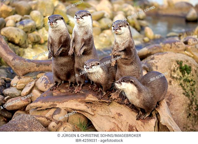 Oriental small-clawed otters or Asian small-clawed otters (Amblonyx cinerea), adult, romp, standing upright, captive