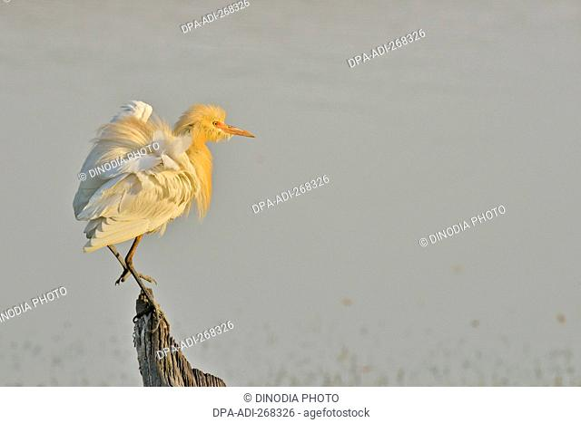 Cattle egret breeding plumage roosting on tree trunk, rajasthan, India, Asia