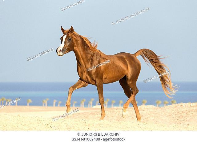 Arabian Horse. Chestnut stallion trotting on a beach. Egypt