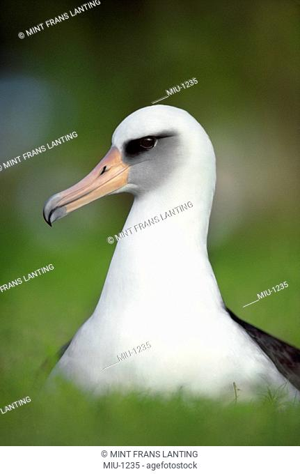 Laysan albatross, Phoebastria immutabilis, Hawaiian Leeward Islands