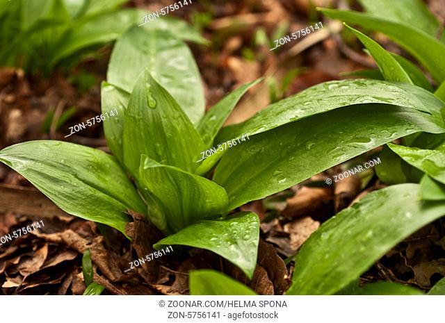Bärlauchpflanze auf Waldboden