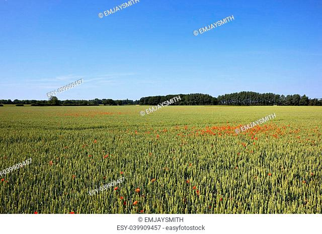 a scenic agricultural landscape with green wheat and red poppies under a clear blue sky in england