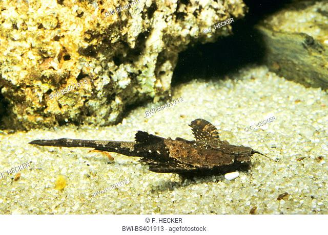 Banjo Catfish (Dysichthys coracoideus, Bunocephalus coracoideus, Bunocephalus bicolor, Dysichthys bicolor), rests on the bottom