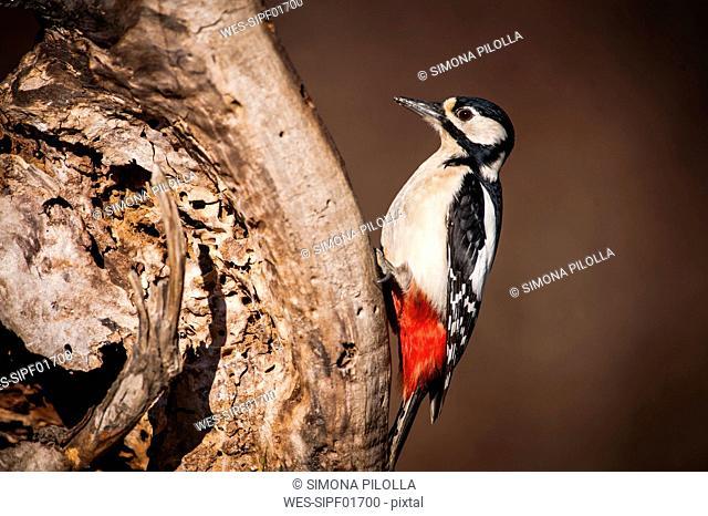Portrait of Great spotted woodpecker