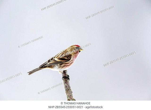 Mealy red poll (Carduelis flammea) perched on a tree branch, Bedfordshire England UK